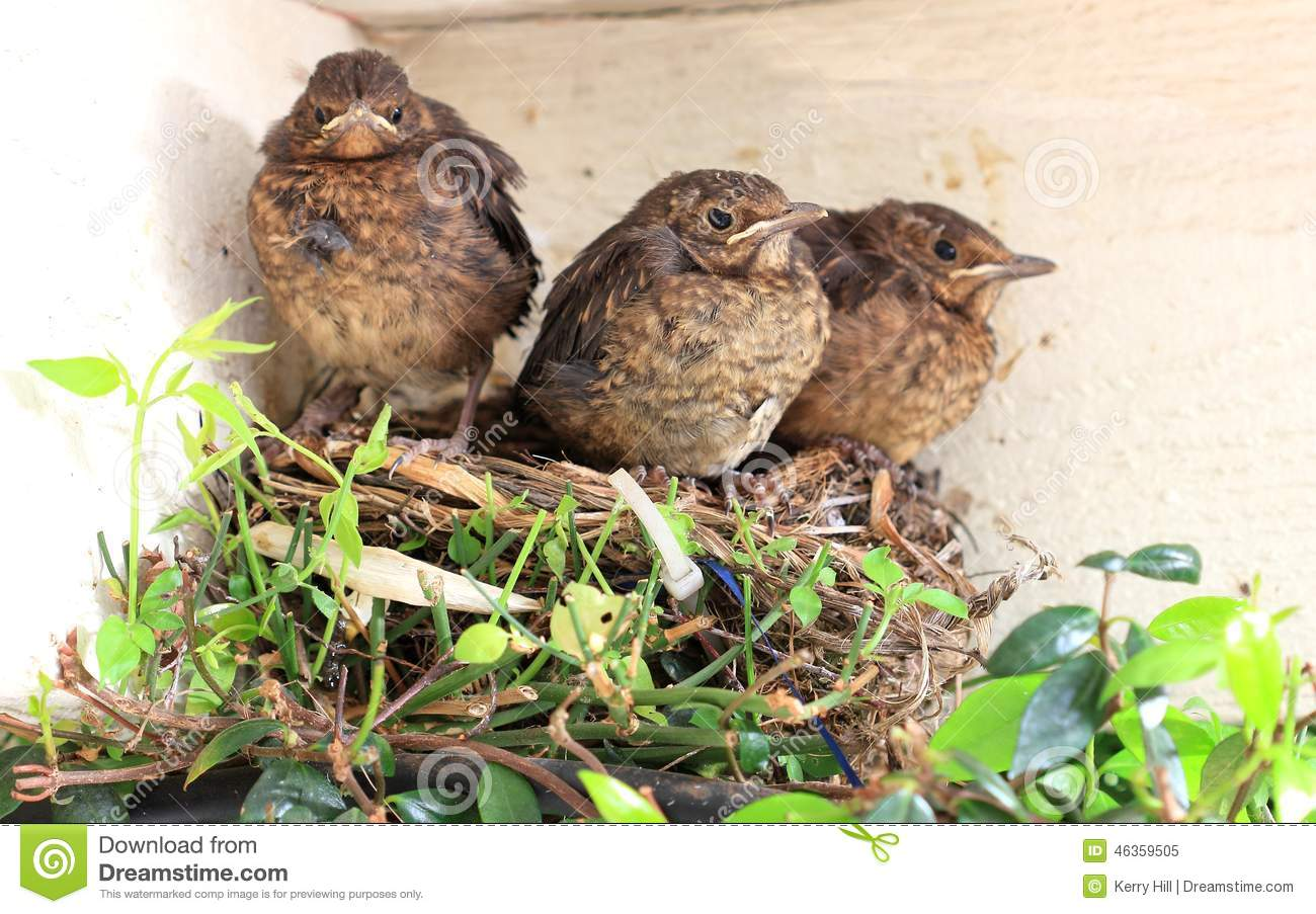 Baby Birds Ready To Fly From Nest Stock Image - Image ...