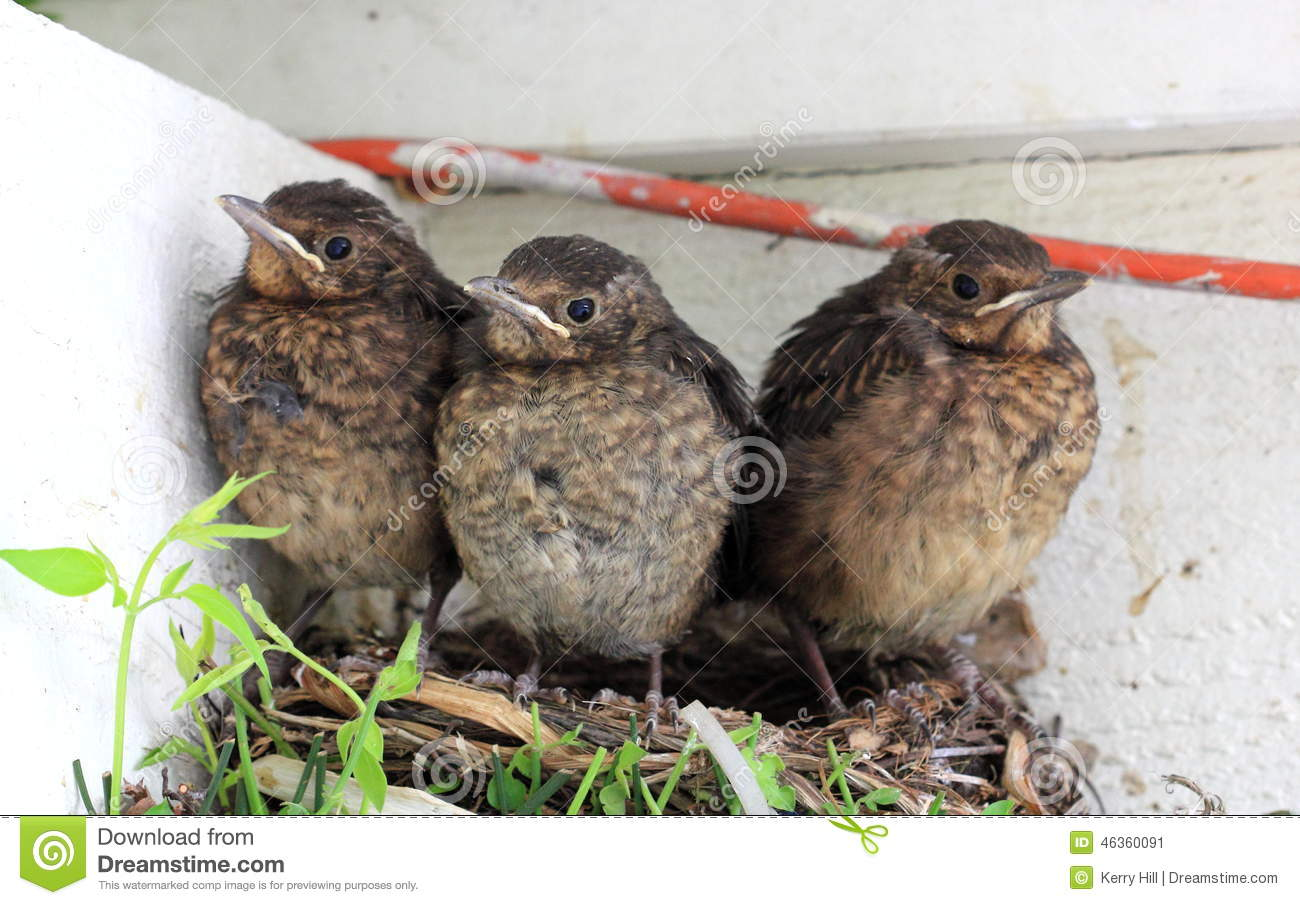 Baby Birds Ready To Fly From Nest Stock Photo - Image ...