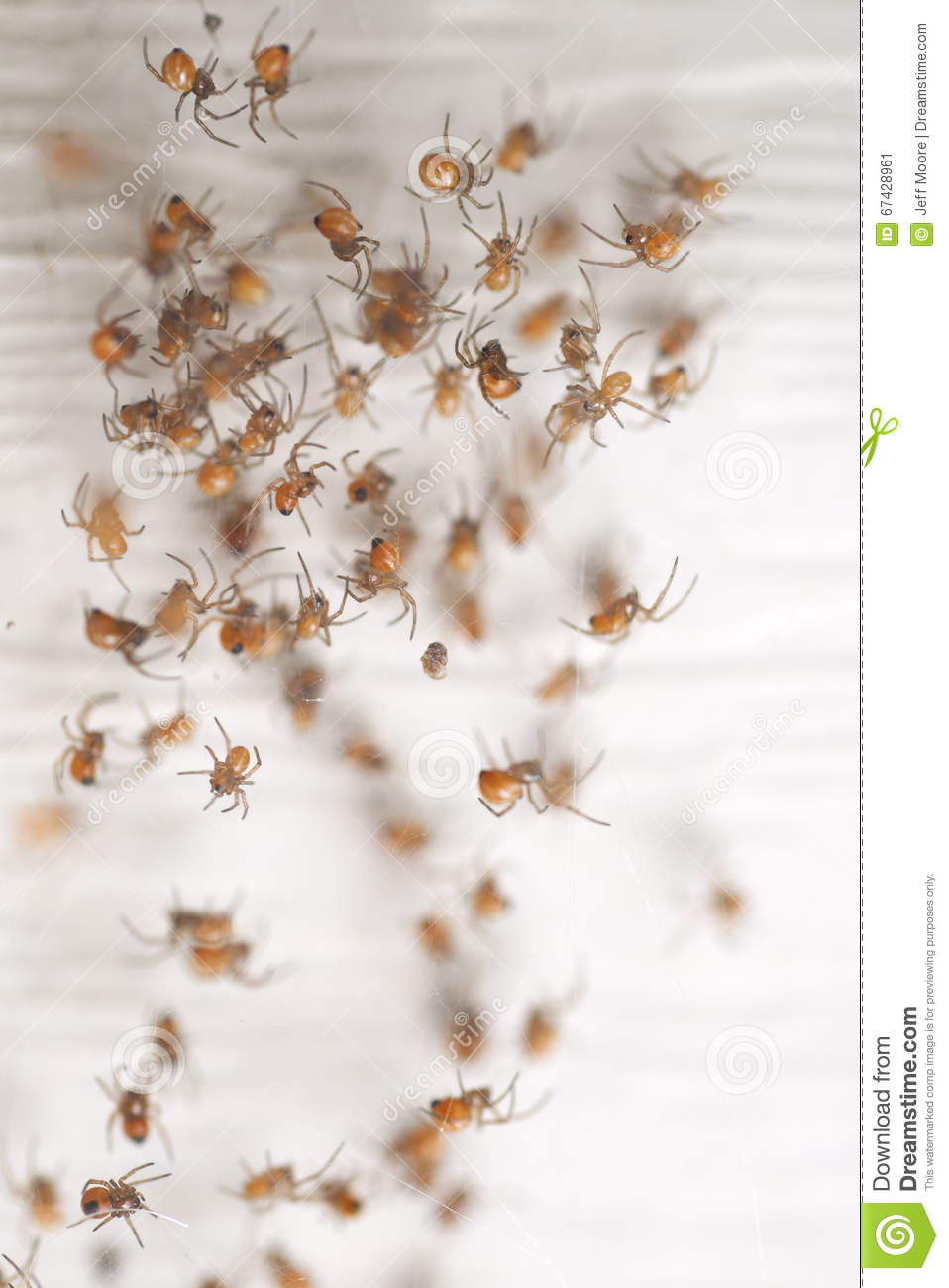 Baby Black Widow Spiders Stock Image Image Of Take Baby