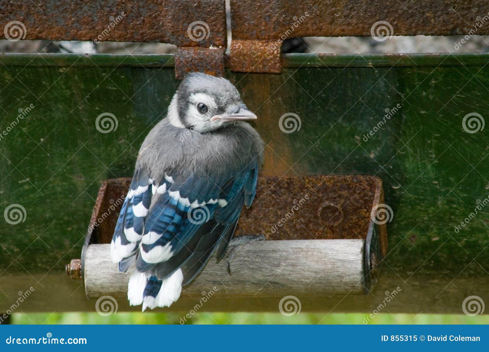 Baby Blue Jay Royalty Free Stock Photo - Image: 855315
