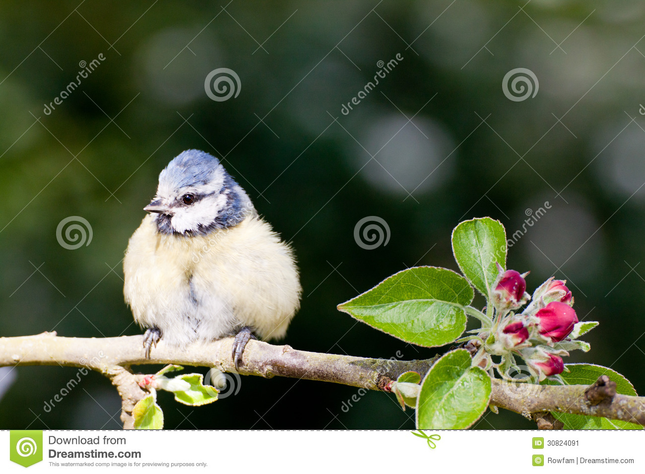 baby blue tit on apple tree in spring stock image image