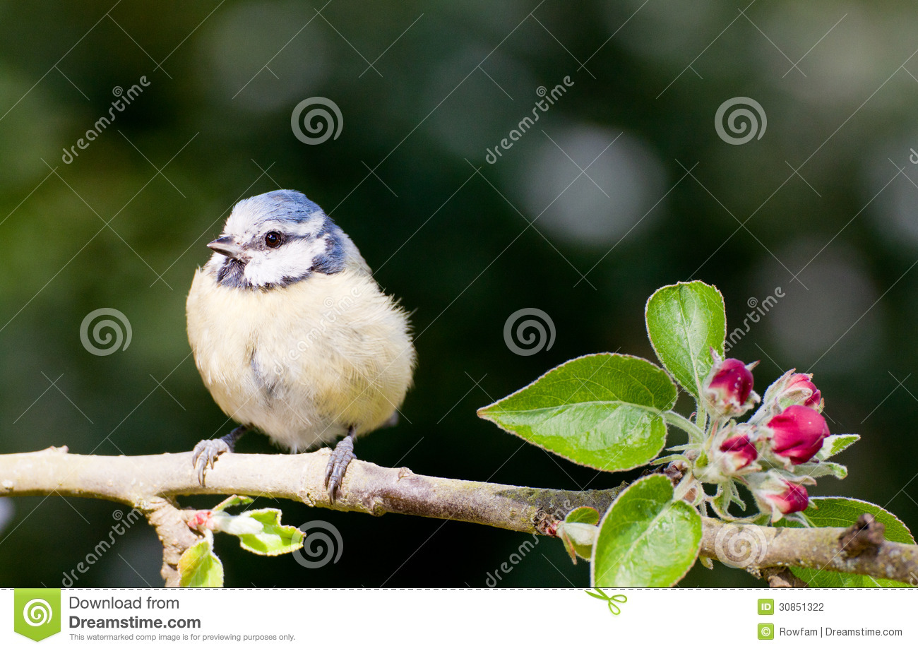 baby blue tit perched on apple tree in spring stock