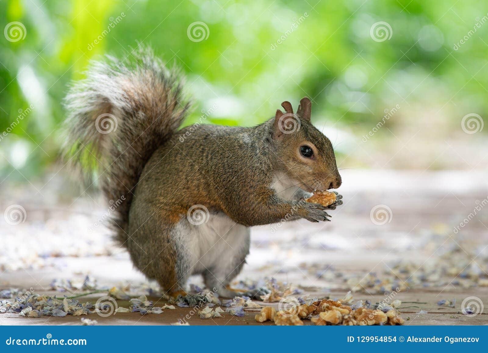 Baby brown furry squirrel holding walnut