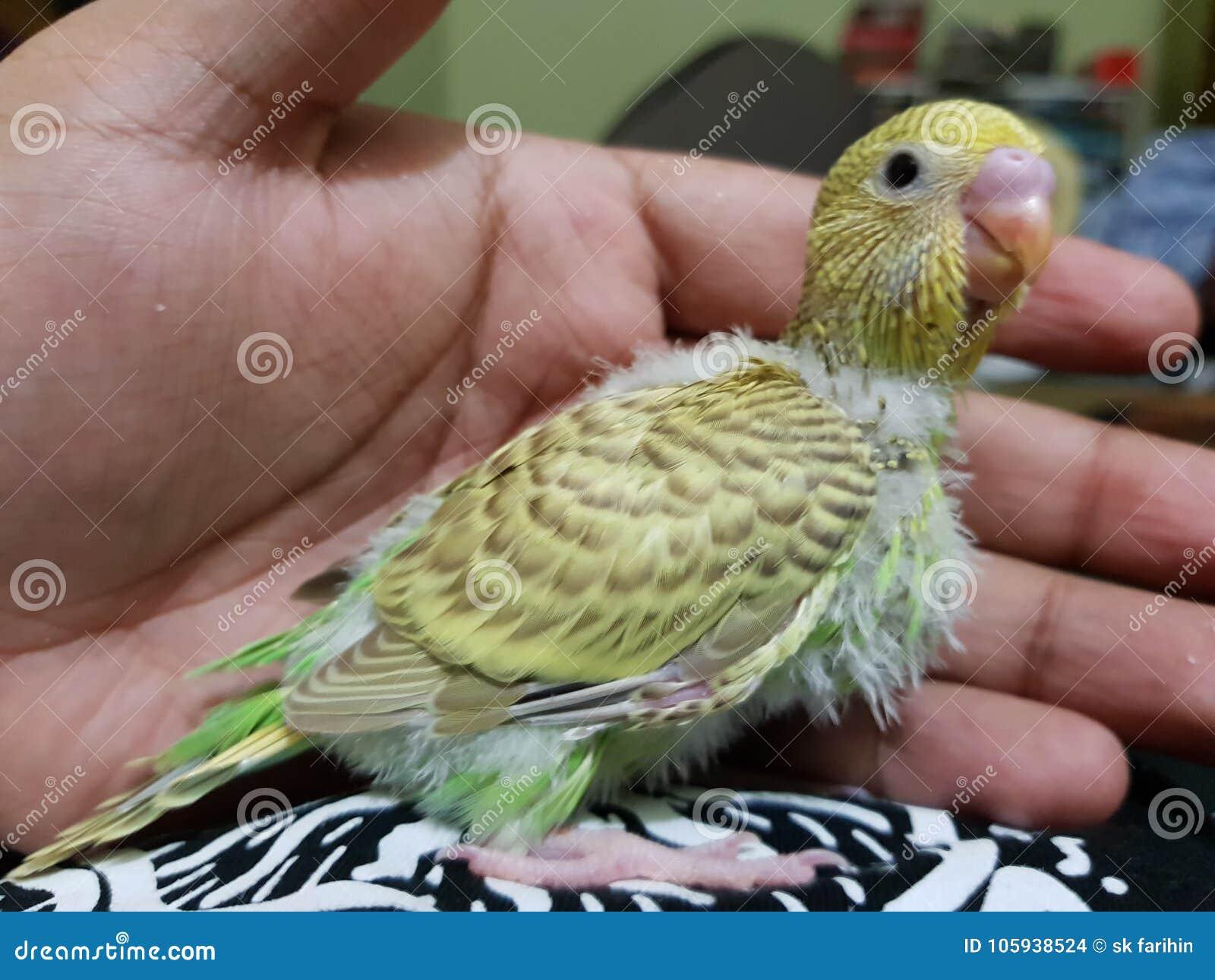 Babies of budgies stock photo  Image of beak, perico - 105938524