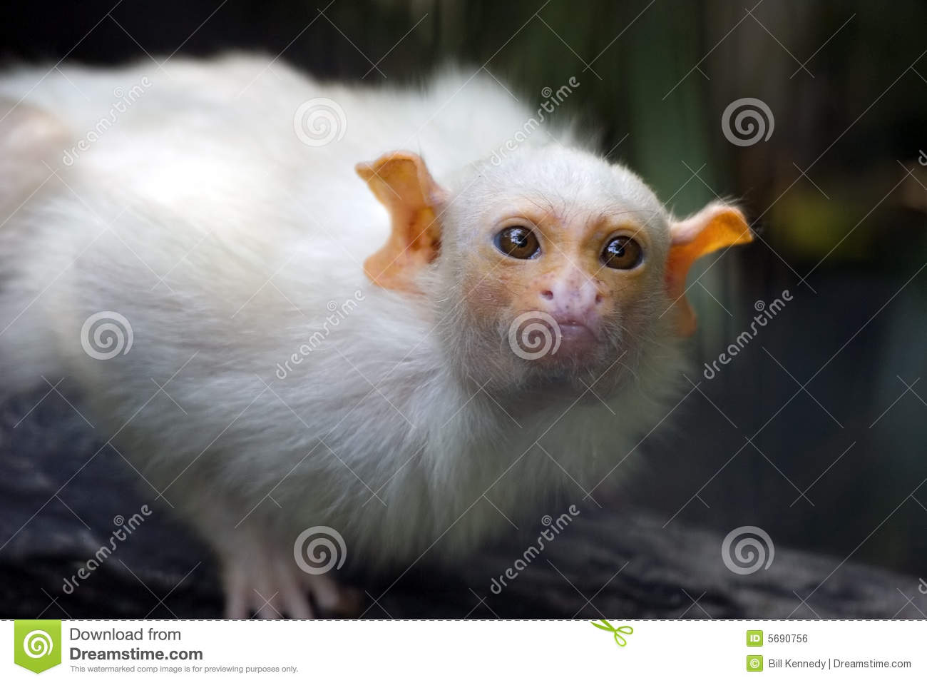 Baby Capuchin Monkey stock photo  Image of white, mammal
