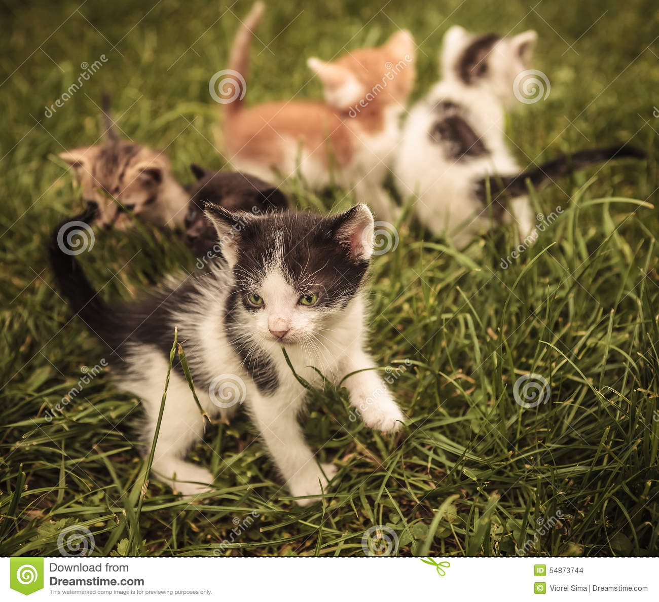 Baby Cats Playing In The Grass Stock Image