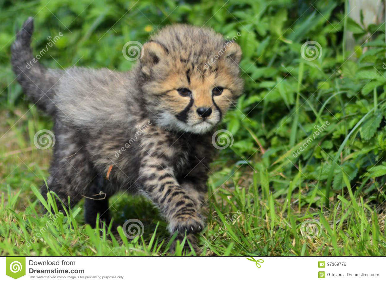 Baby Cheetah Stock Photo Image Of Park Background Industries
