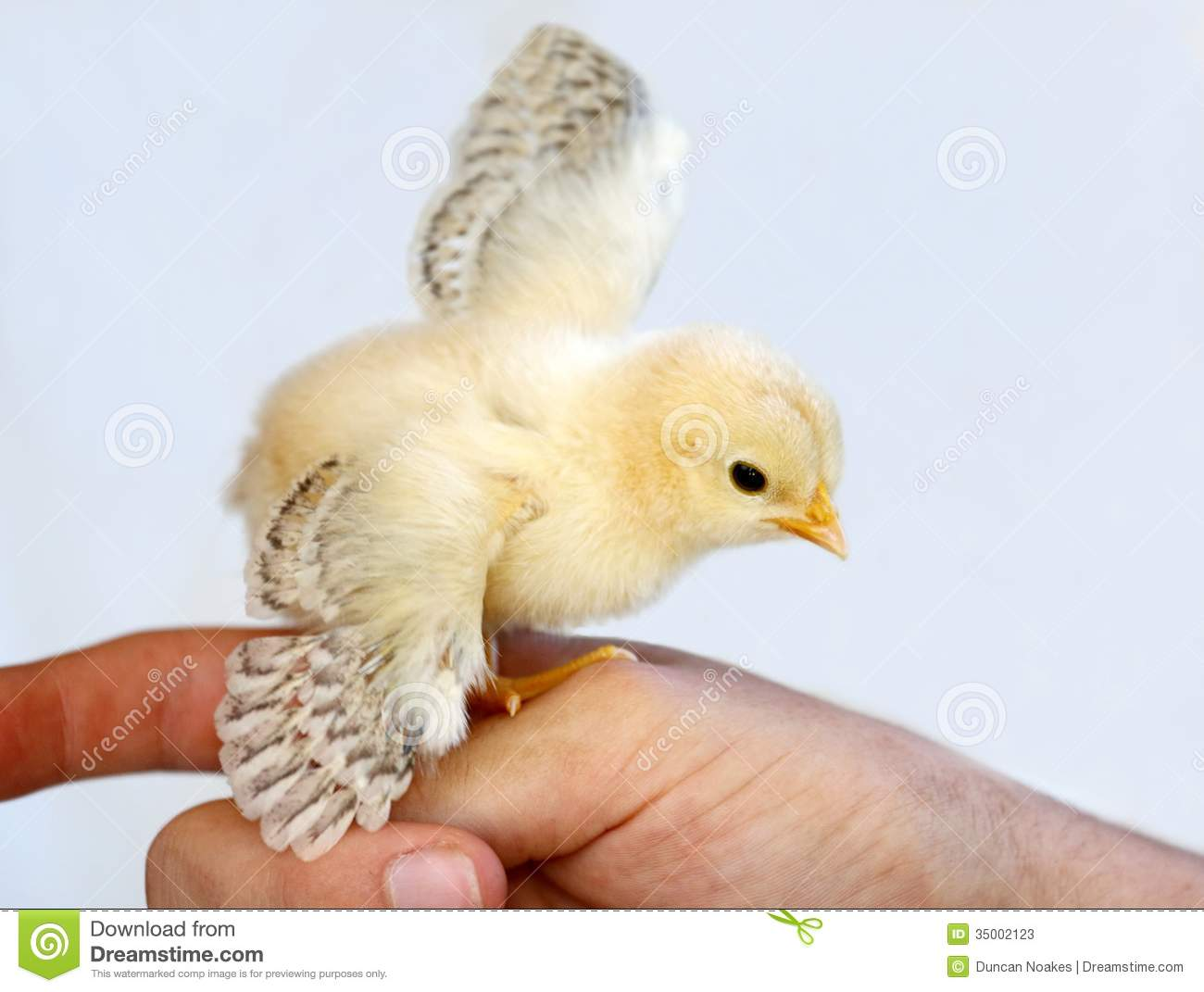 Tiny yellow chicken with it's wings outspread and perched on a finger.