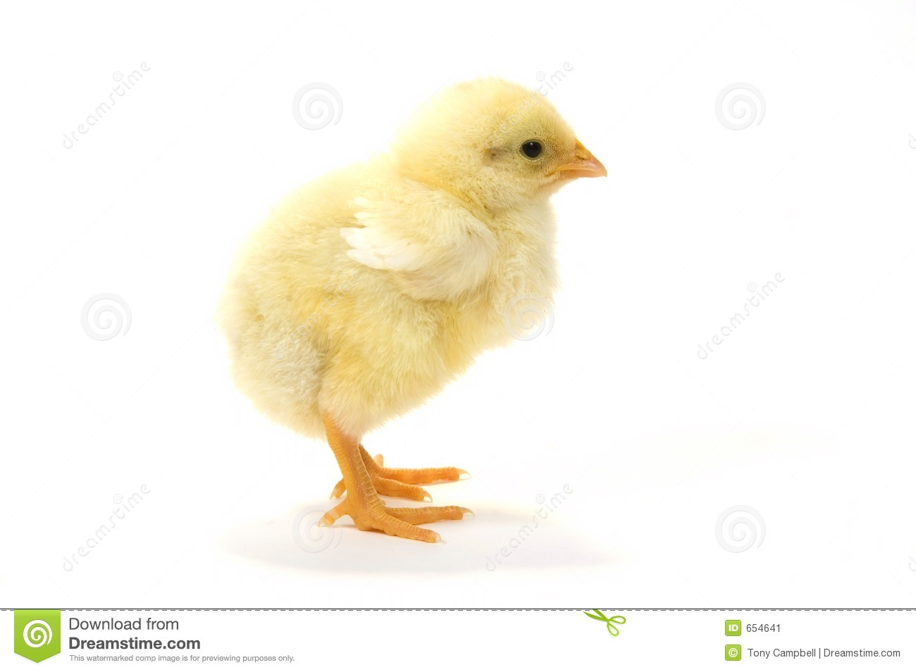 Baby Chick On White Background (profile Right) 22 Stock Image ...