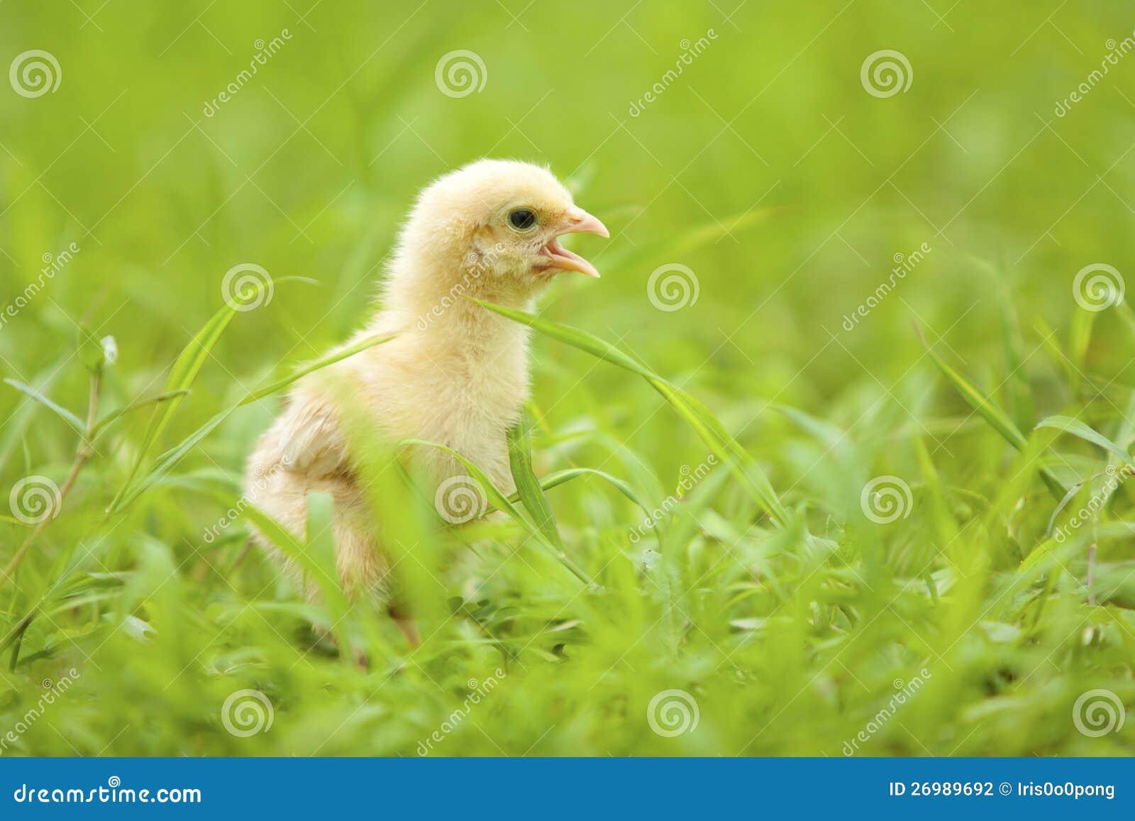 Crying Little Chicken Stock Image Cartoondealer Com