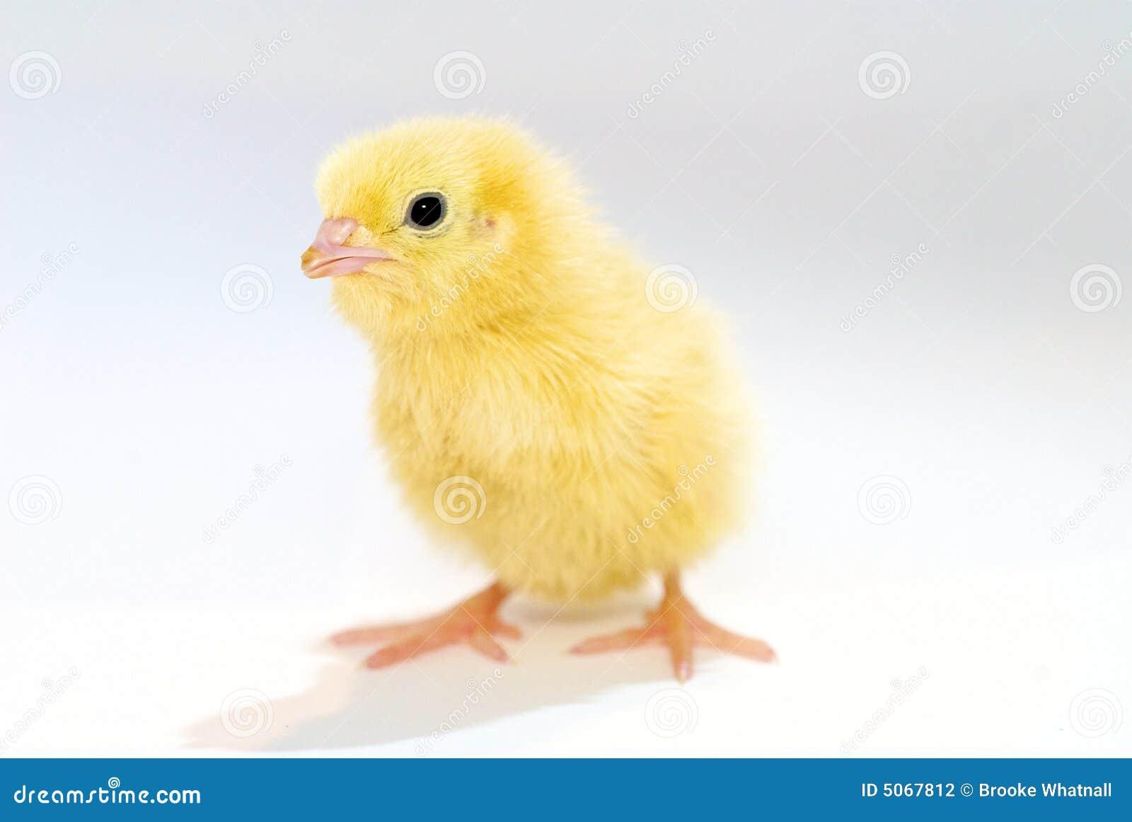 B Calm Baby chicken Baby Chic...