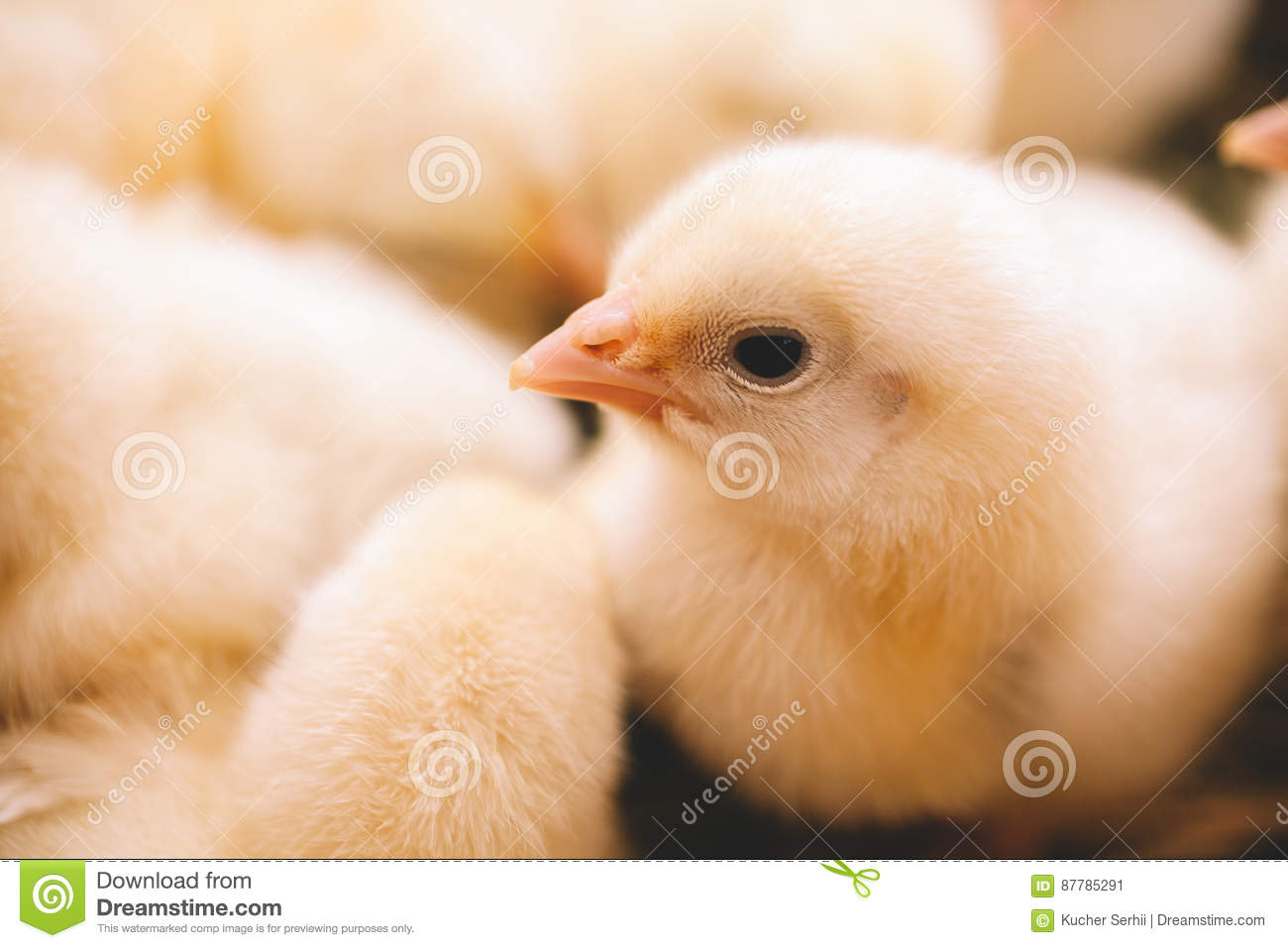 Baby chicken in farm