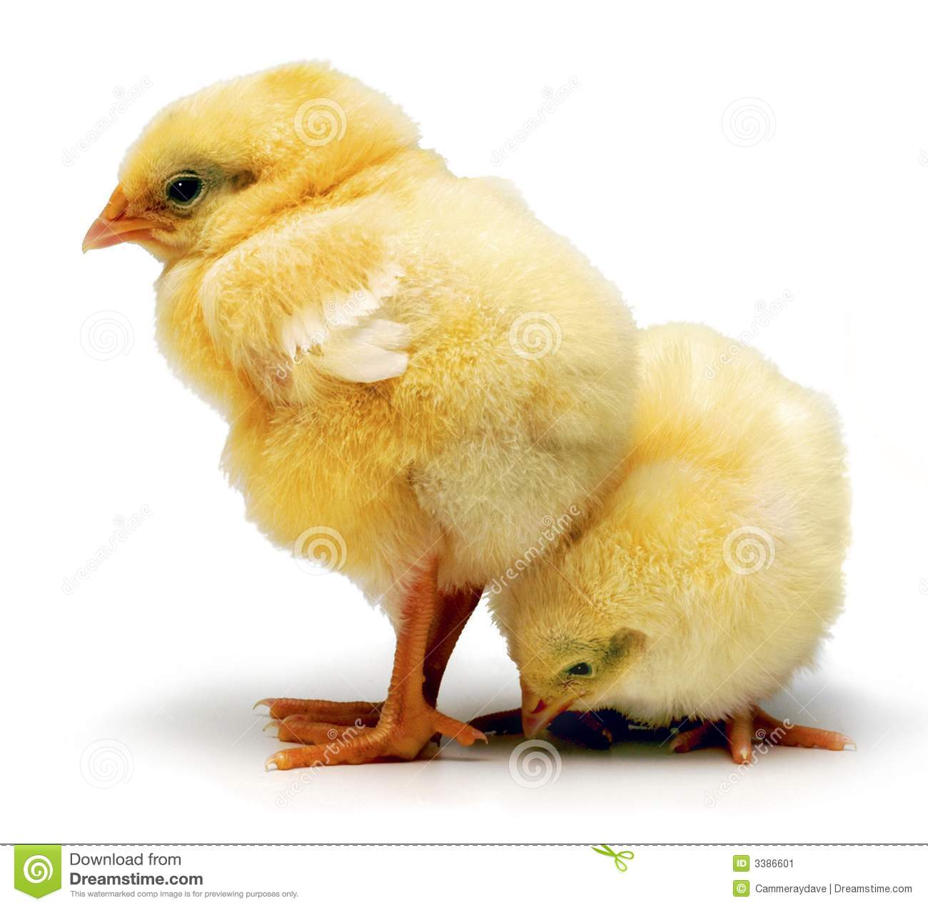 Baby Chickens Chicks Stock Image - Image: 3386601
