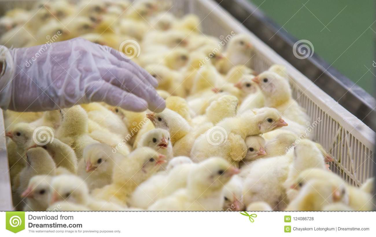Baby Chickens just born on tray