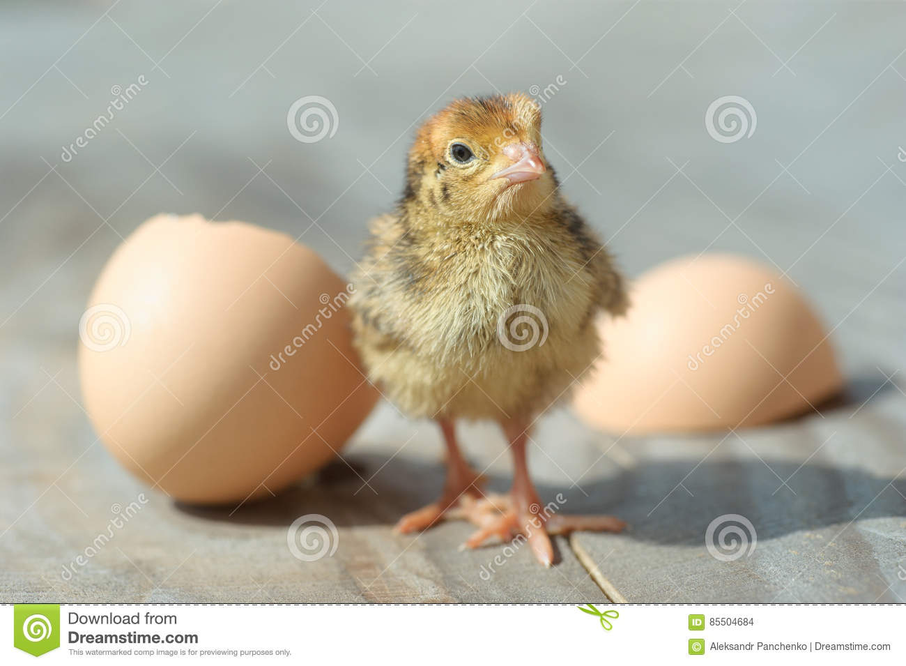 Baby chicks pictures only