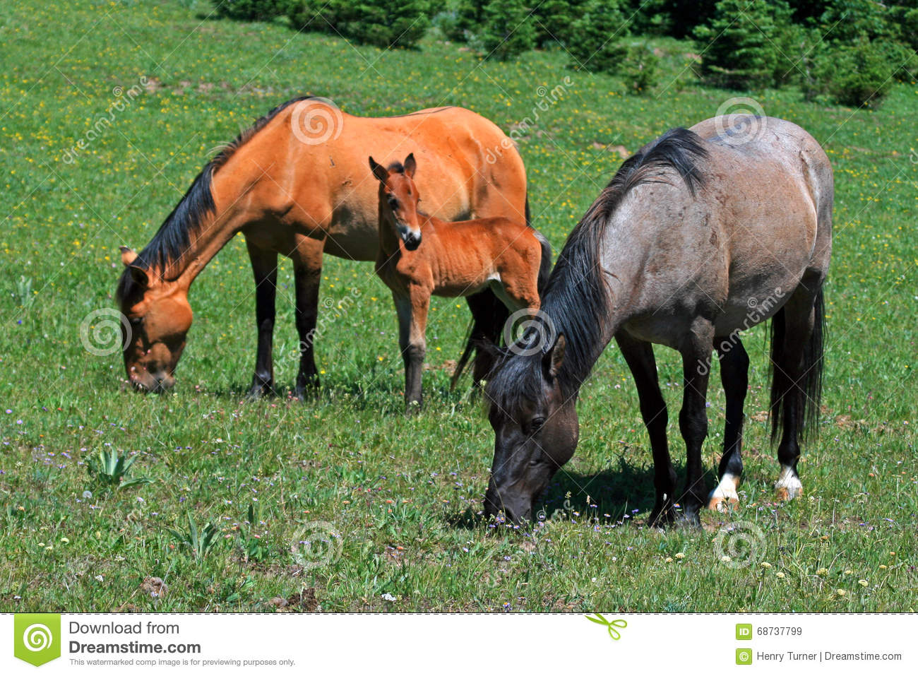 Baby Colt Mustang With Mother Mare Wild Horse Stock Image Image Of Horse Foal 68737799