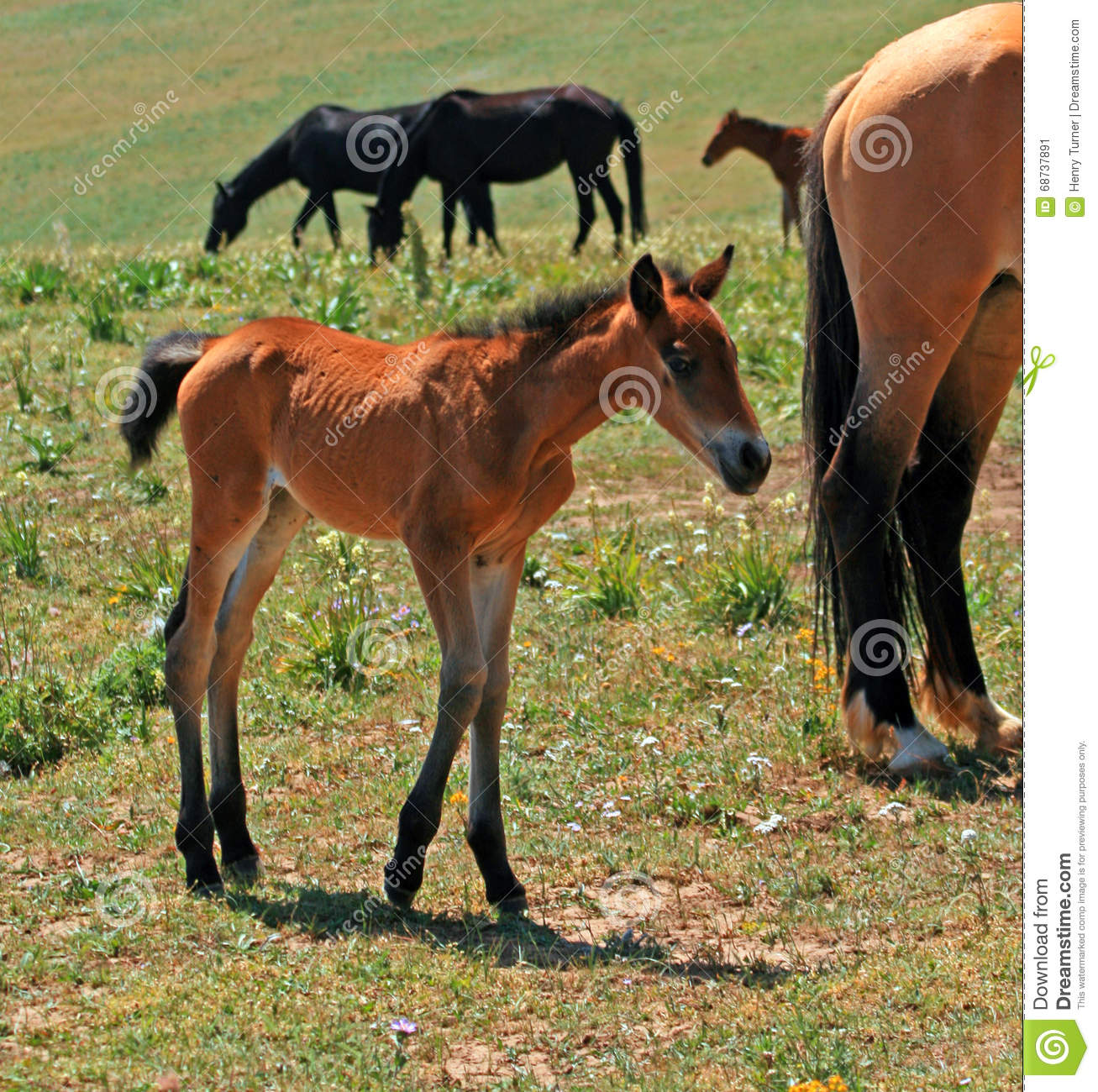 Baby Colt Mustang With Mother Mare Wild Horse Stock Photo 68737891 Megapixl