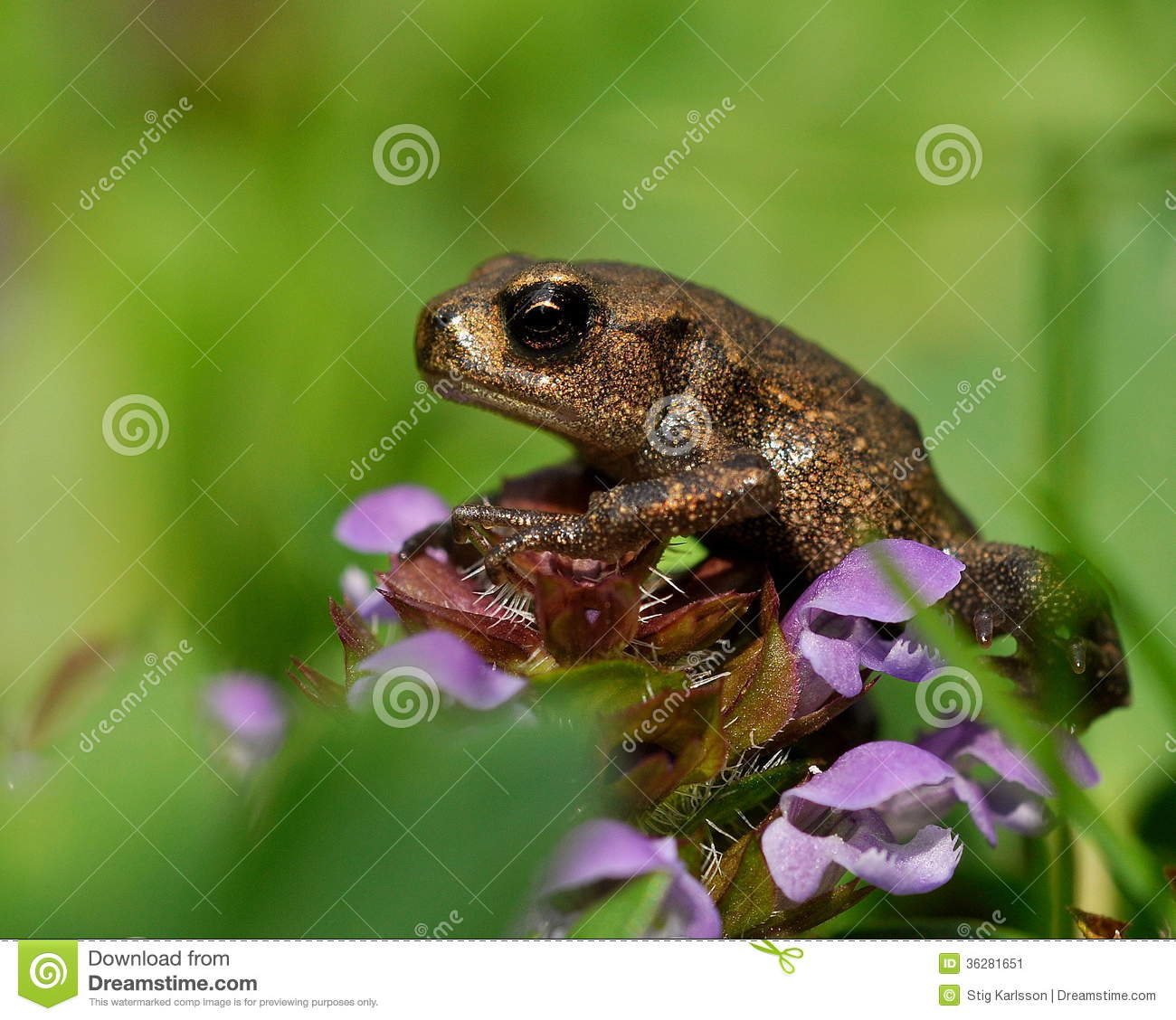Download Baby common toad Bufo bufo stock image. Image of frog - 36281651