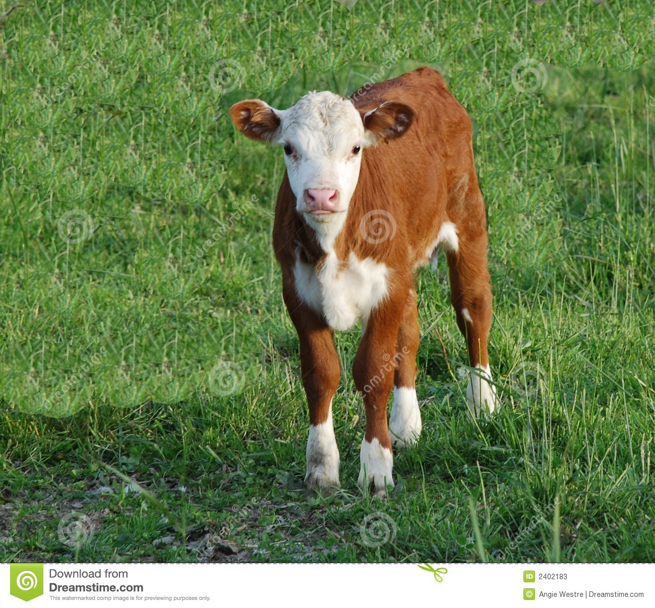 Baby Cow Stock Photos  Image: 2402183
