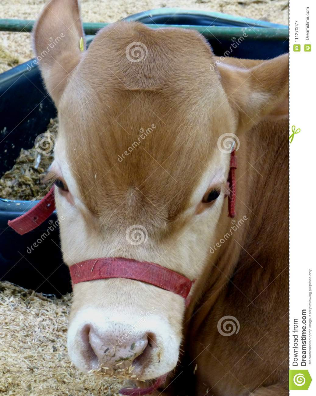 Baby cow in a exposition