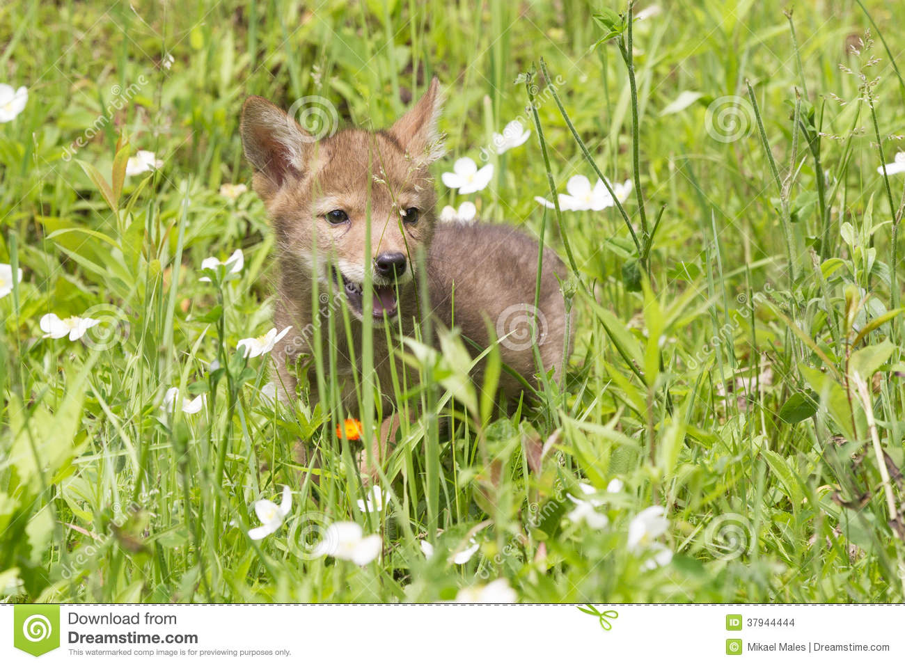 Baby Coyote Playing In A Field Stock Images - Image: 37944444