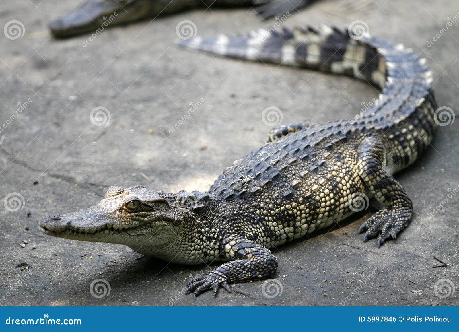 baby crocodile stock photo image of dangerous asia land 5997846
