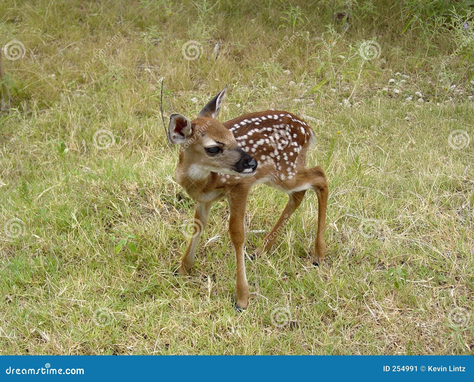 Infant Baby Deer