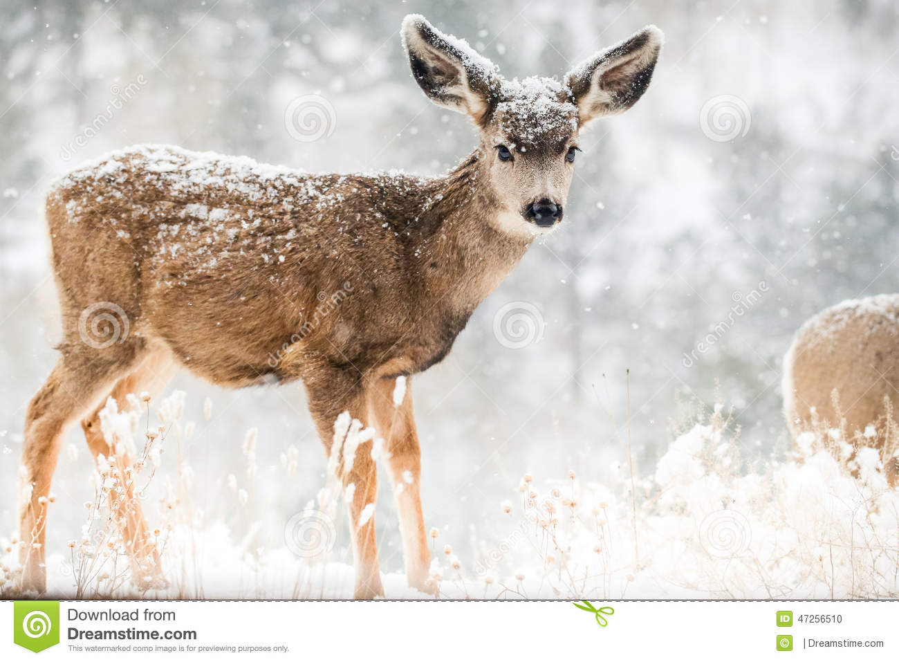 Wild baby deer with eye contact looking at camera in winter scene of ...