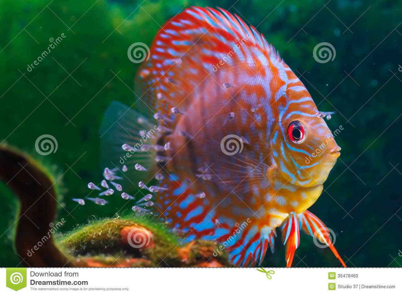 Baby discus fish swimming in freshwater stock photo for Fish in the amazon