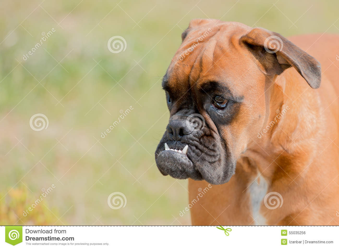 Baby Dog Boxer Young Puppy On Green Grass Stock Photo Image Of