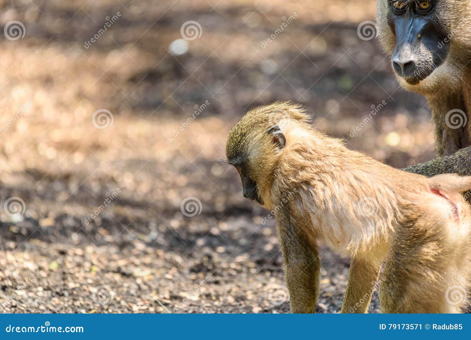 Baby Drill (Mandrillus Leucophaeus) Stock Image - Image of