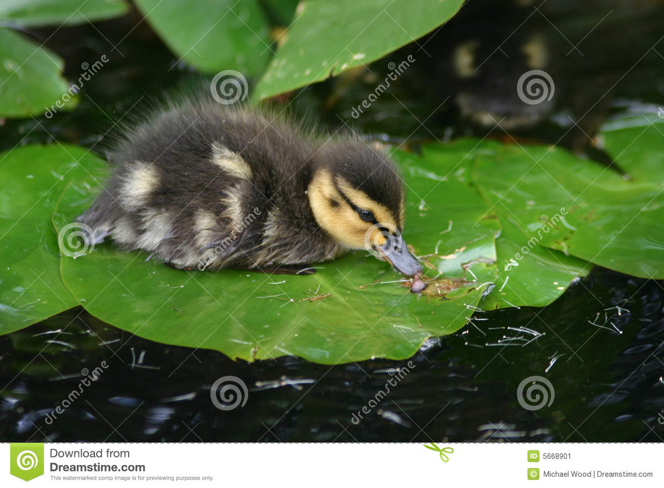 Baby Duck on Lily Pad