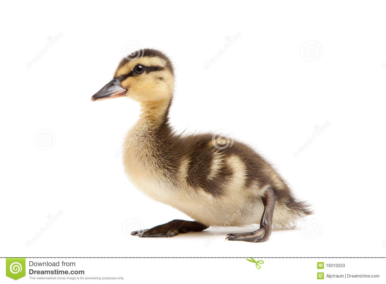 baby duck mallard isolated on white stock photos image 16010253 Luau Background Clip Art Tropical Background Clip Art