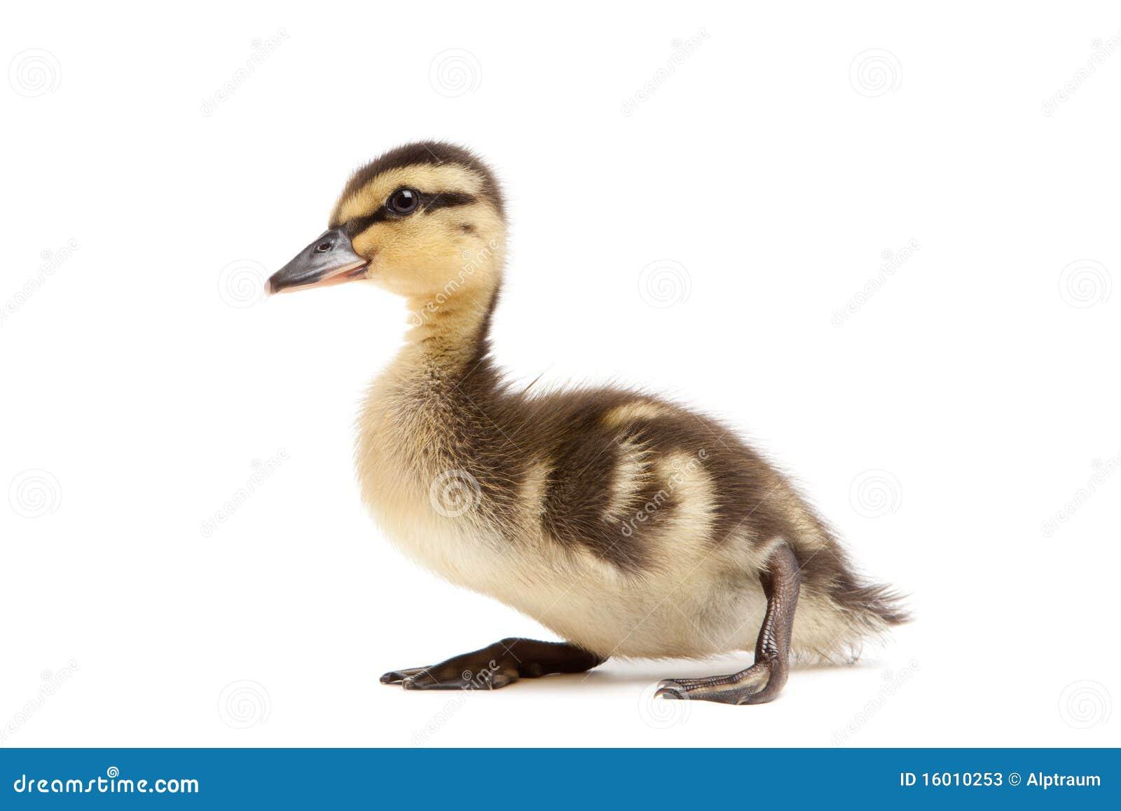 baby duck mallard isolated on white stock photos image baby duck clip art black white baby ducky clip art