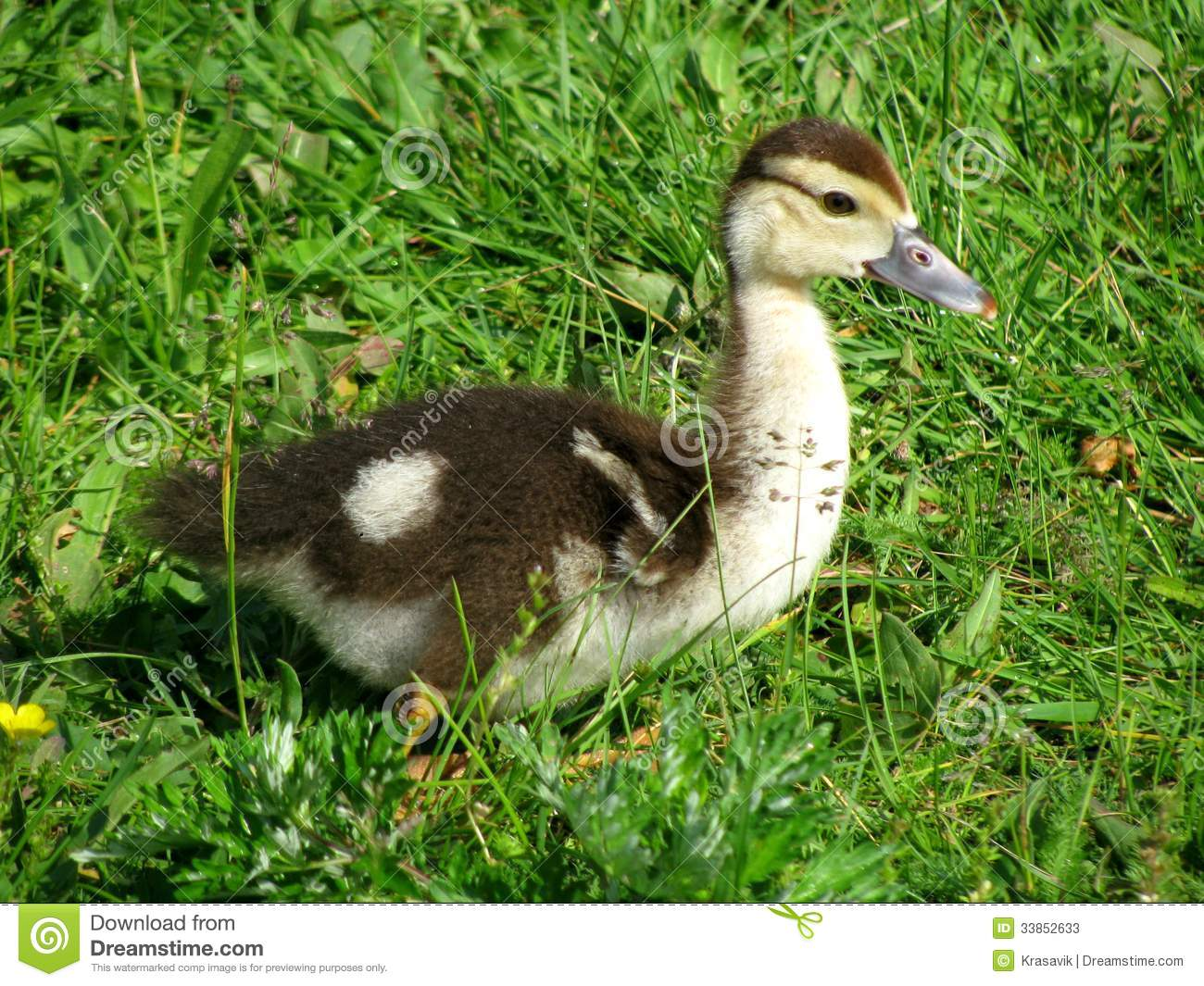 Yellow-brown duckling standing on the grass.