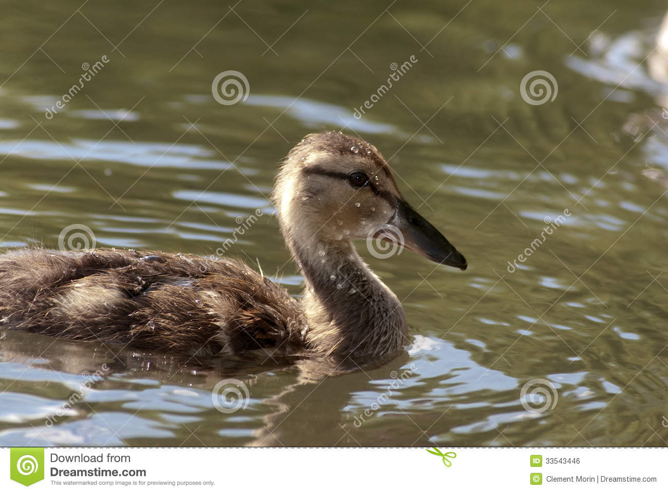 Baby Duck Royalty Free Stock Image - Image: 33543446