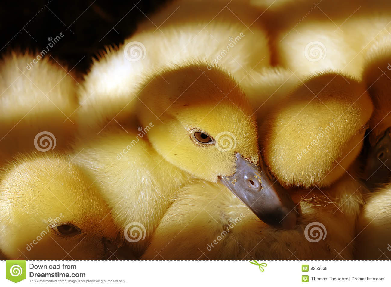 Baby Ducklings Royalty Free Stock Photos - Image: 8253038