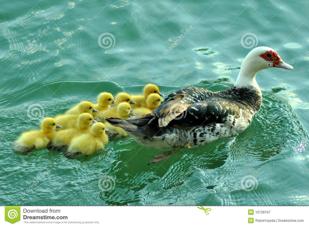 Yellow baby ducks breed