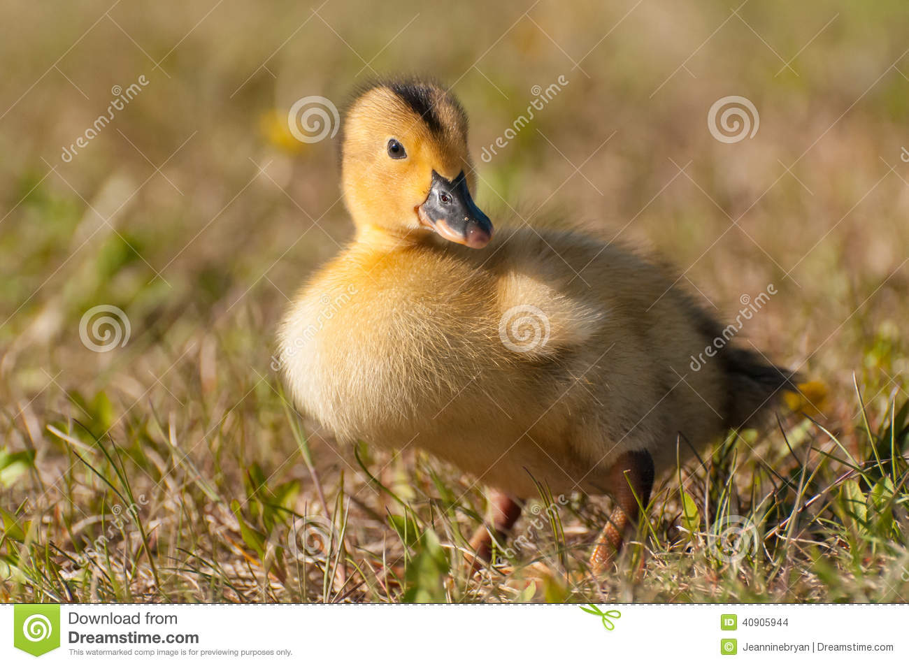 yellow baby ducks walking - photo #6