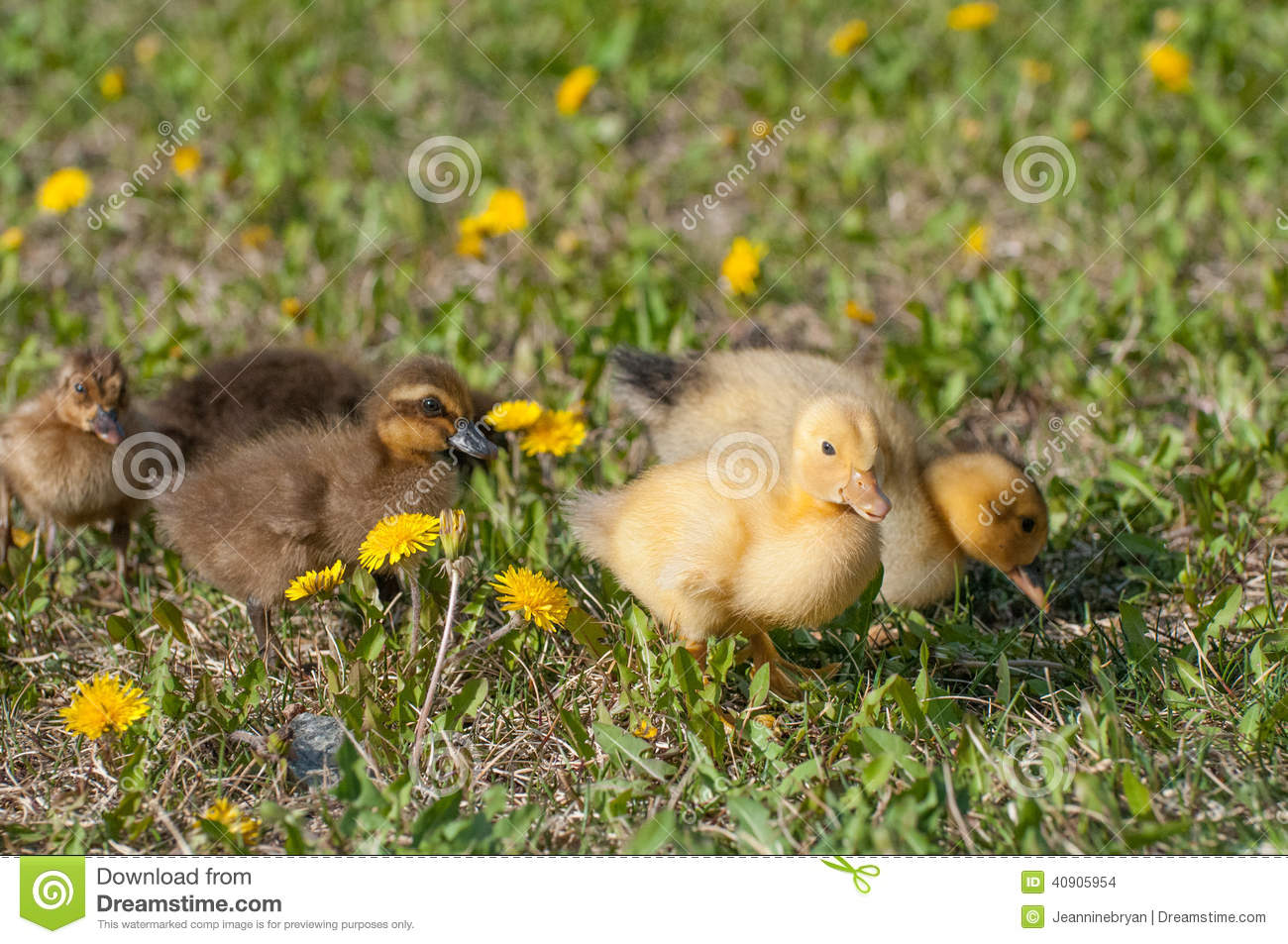 yellow baby ducks walking - photo #23