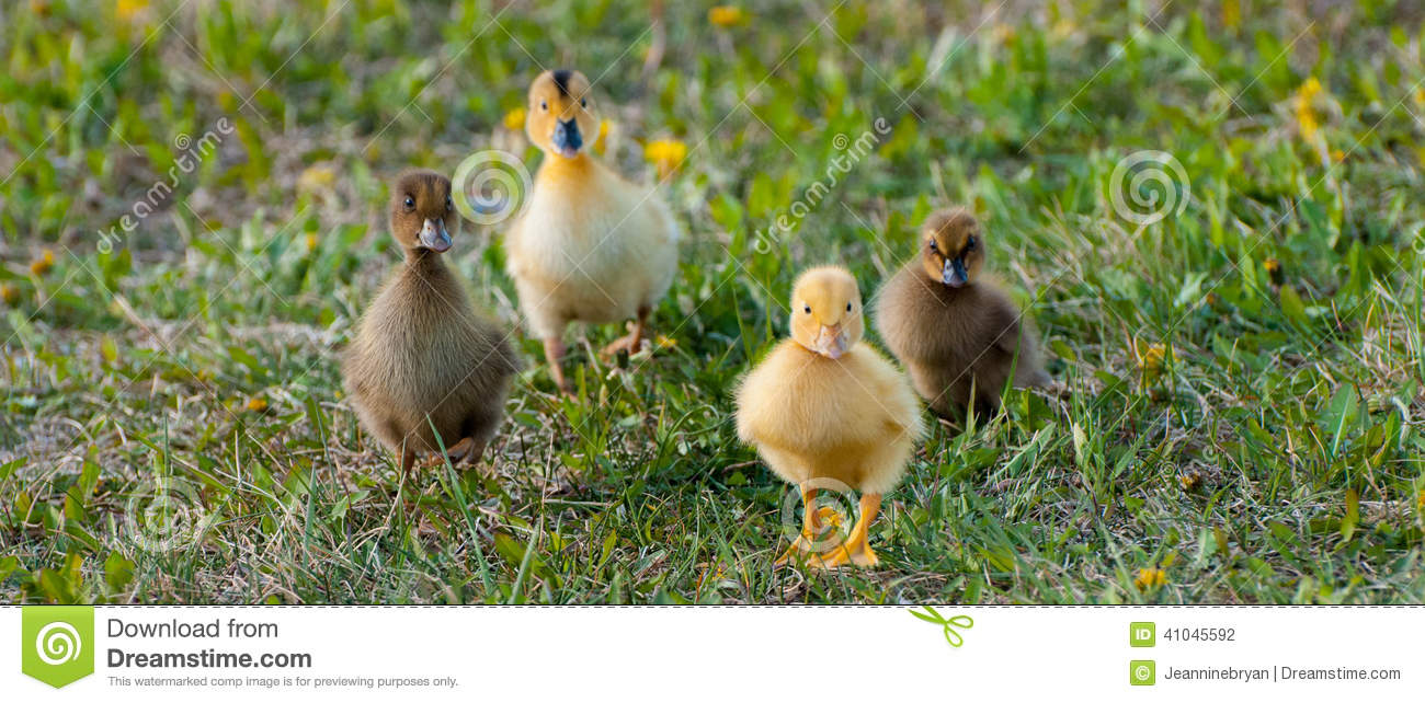 Yellow baby ducks walking - photo#15