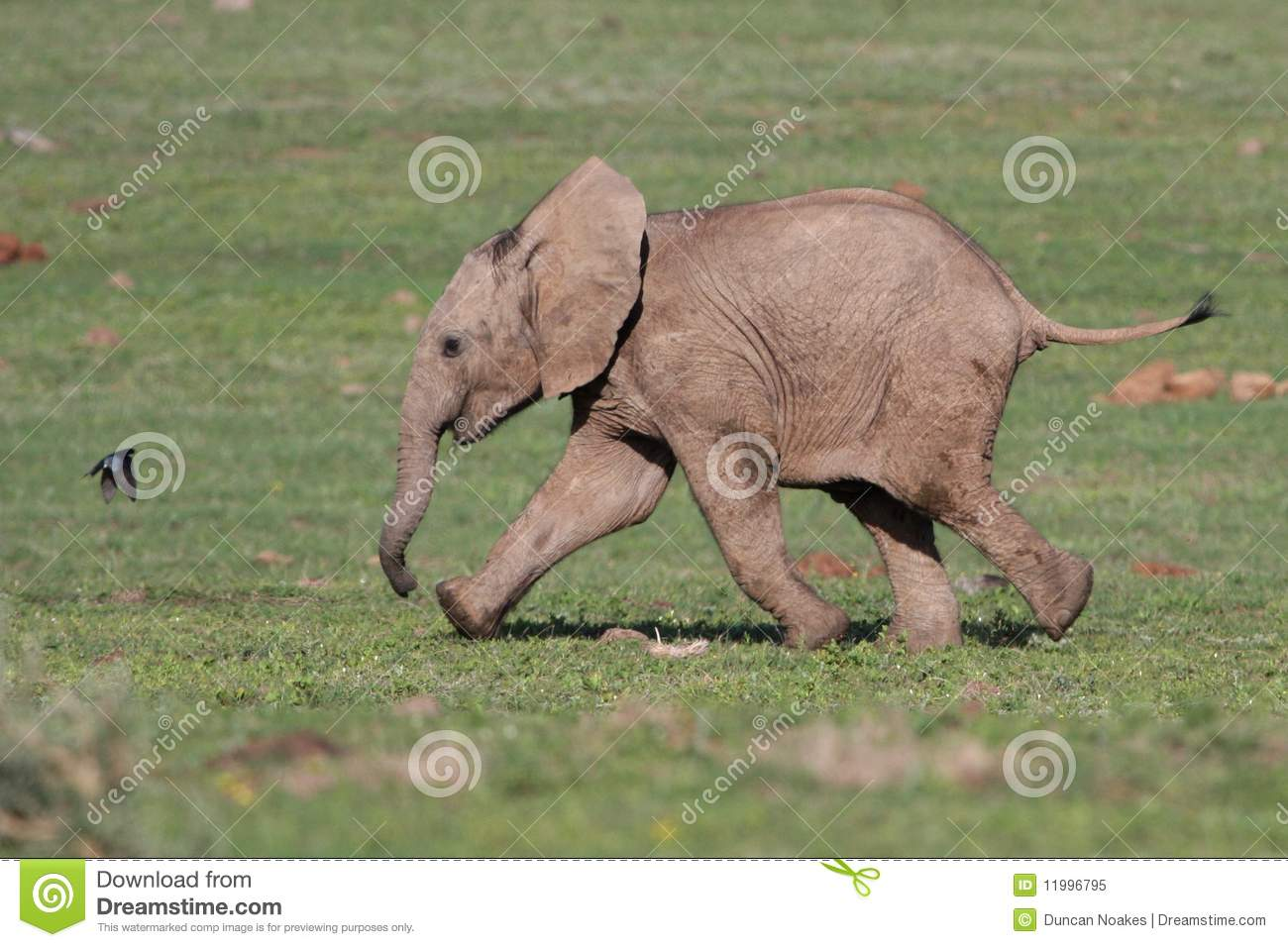 Baby Elephant And Bird Stock Image Image Of Addo