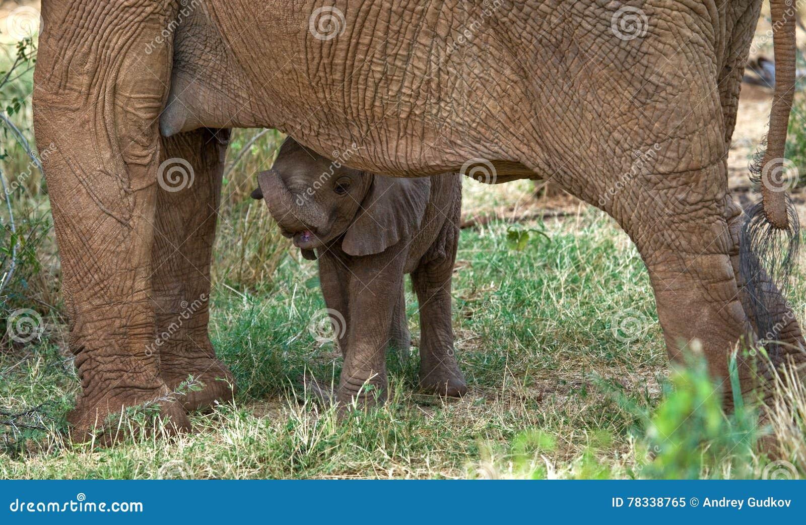 Baby elephant is close to his mother. Africa. Kenya. Tanzania. Serengeti. Maasai Mara.