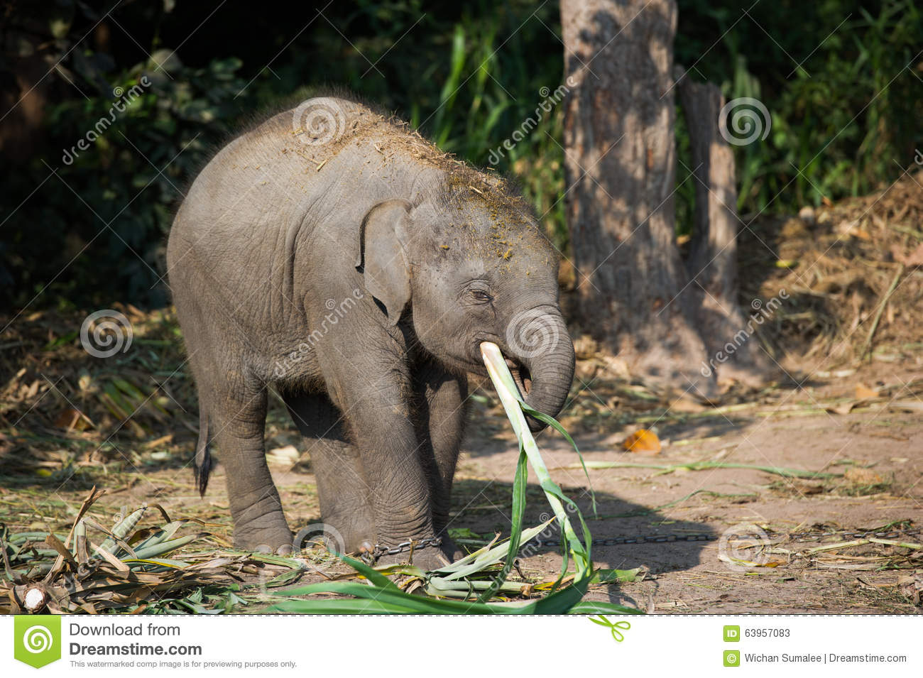 Elephant Eating Sugarcane | www.pixshark.com - Images ...