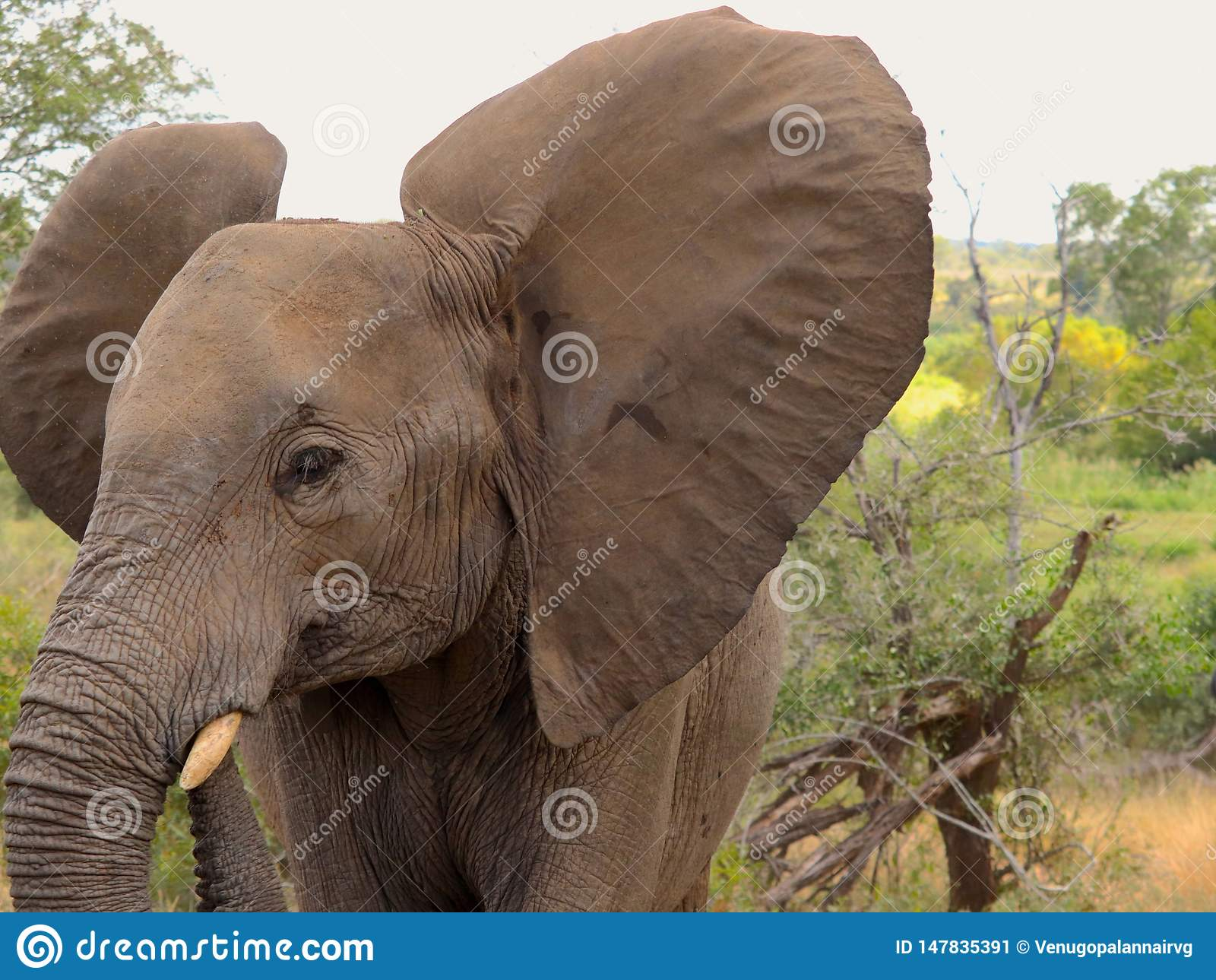 Baby elephant showing off its giant ears at Kruger safari