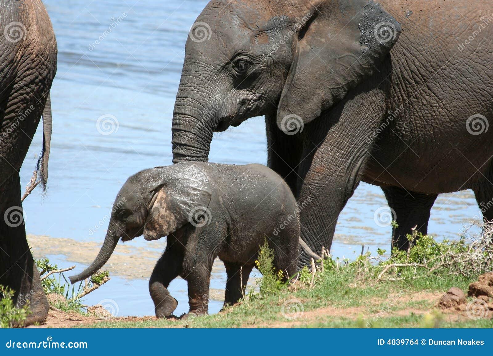 Baby Elephant at water stock photo. Image of elephant ...