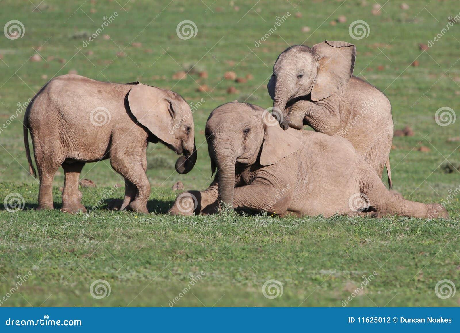 Baby Elephants Playing Games Stock Photo Image 11625012