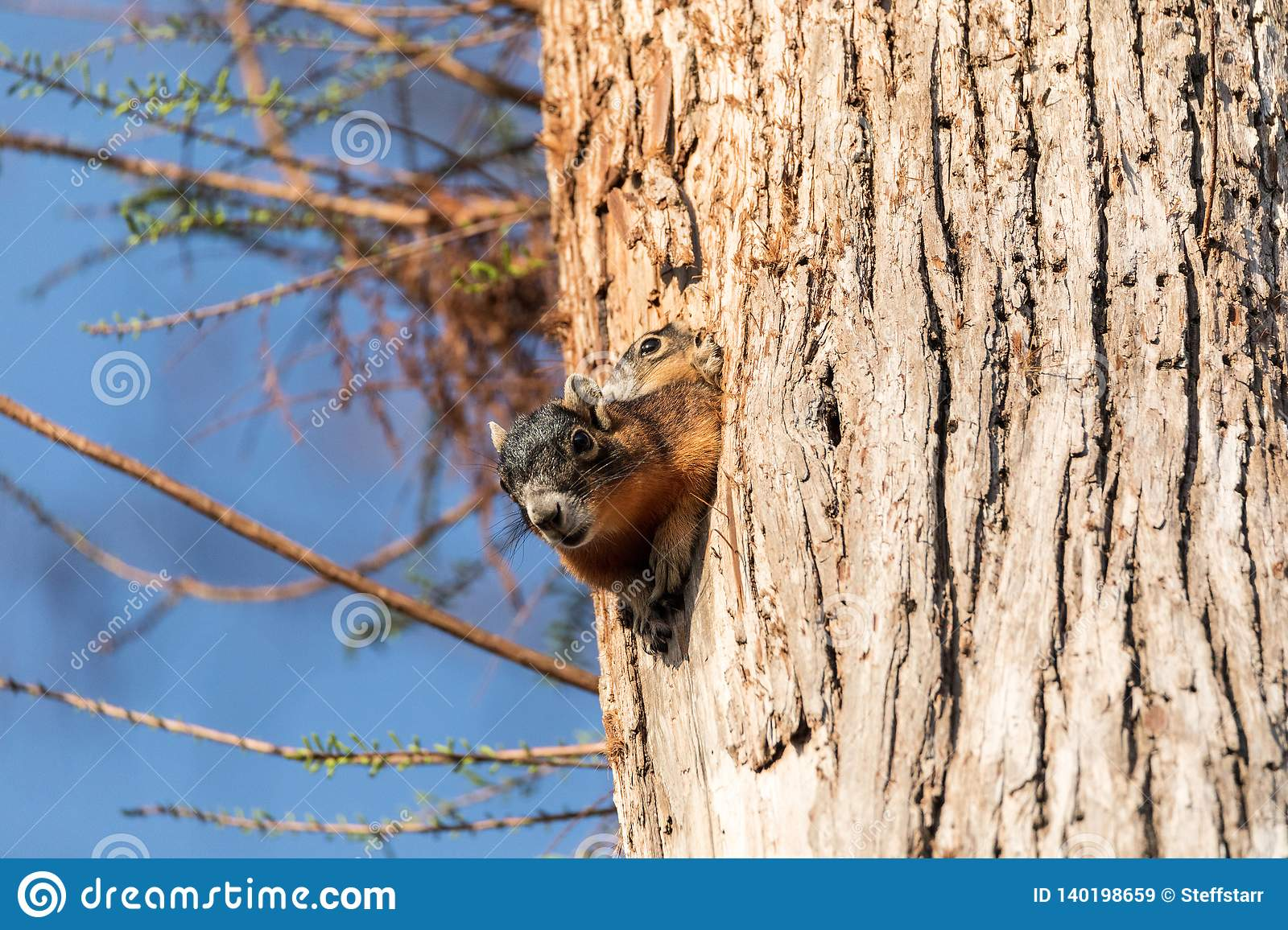 Baby Fox squirrel kit Sciurus niger peers over the top of its mother in the nest