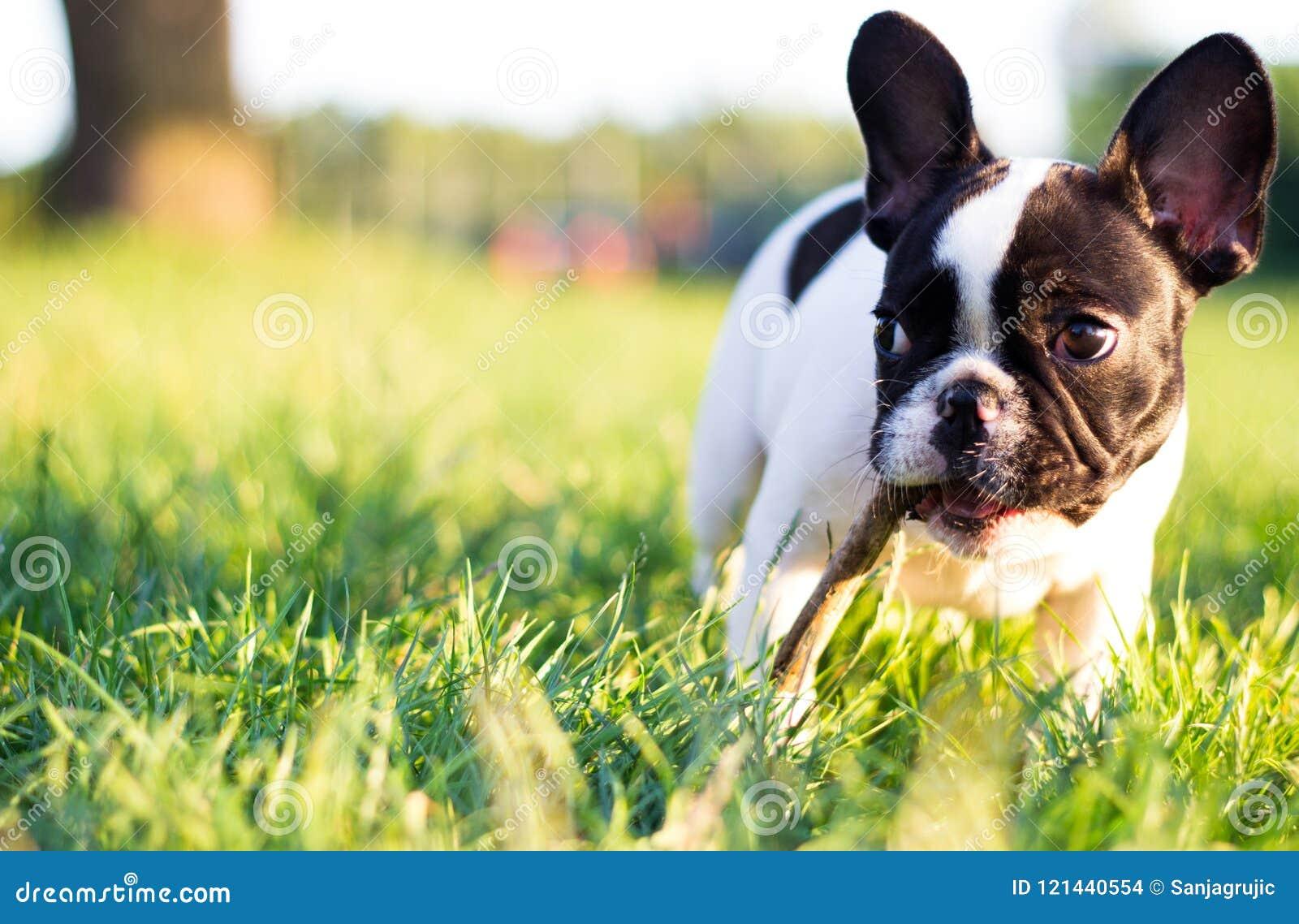 Baby French Bulldog dog -