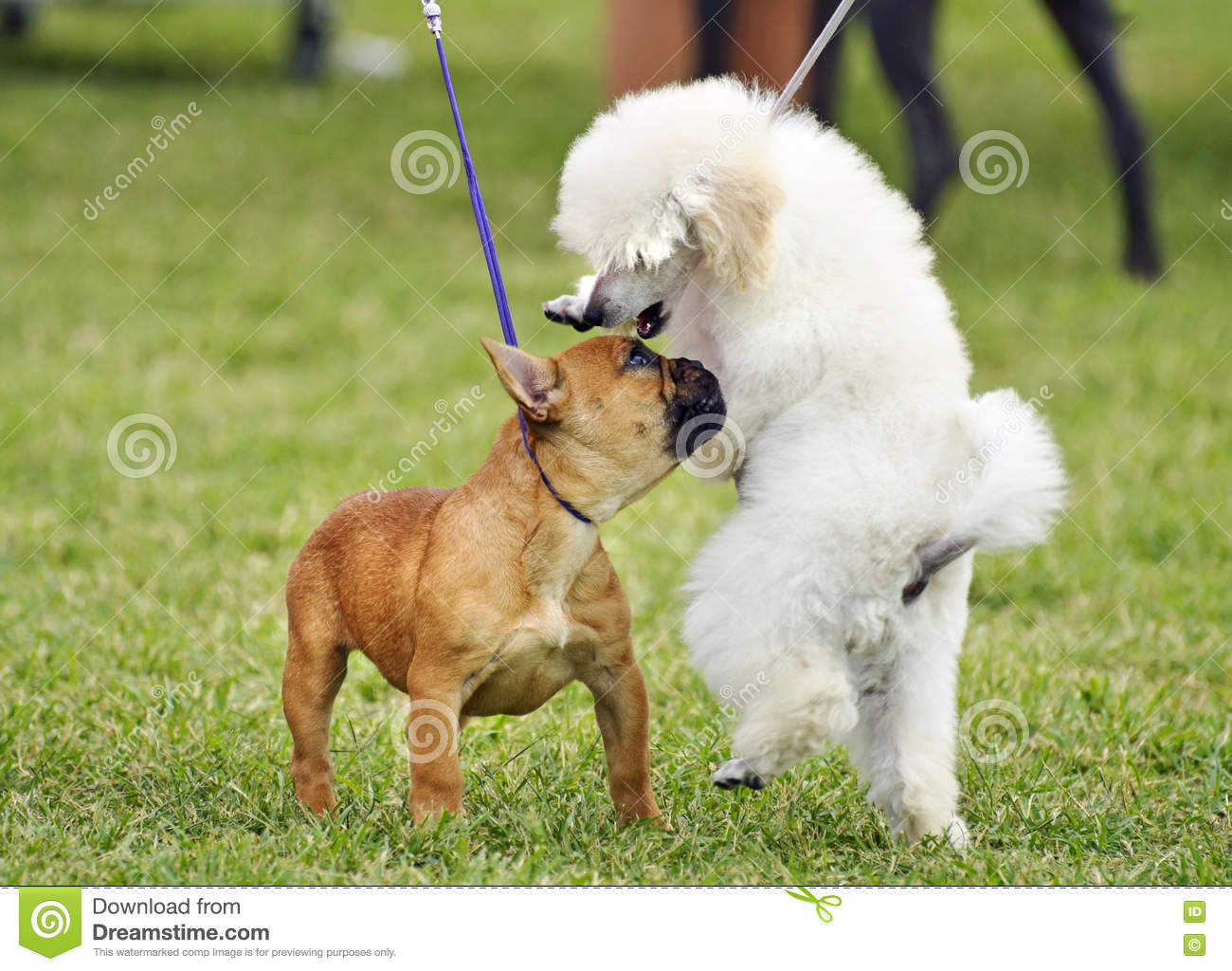 Baby French Bulldog Toy Poodle Puppies Socializing Playing Dog Show Stock Image Image Of Animals Friend 77971305